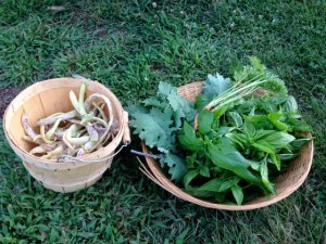 Today's harvest:  Dragon's Tongue Beans, kale, basil, carrots.